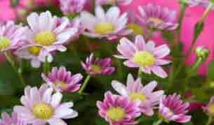 indoor plant Chrysanthemums