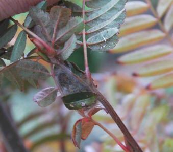 Sorbus with shot hole damage to leaves