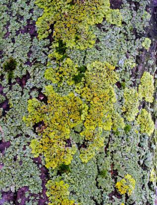 Lichen in the Garden
