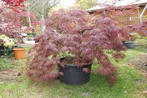 Inaba Shidare Acer Tree